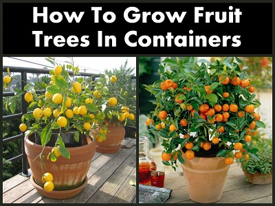 28 can you grow fruit trees in pots how to grow fruit trees
